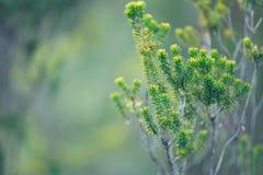Κλαδίσκοι πράσινων εγκαταστάσεων με τις βελόνες Στοκ Φωτογραφία