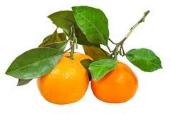Κλαδίσκοι φρέσκα abkhazian tangerines που απομονώνονται με Στοκ φωτογραφίες με δικαίωμα ελεύθερης χρήσης
