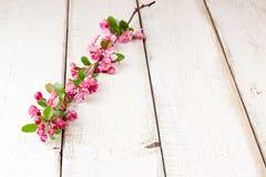 Κλαδίσκος δέντρων της Apple με τα άνθη Στοκ Εικόνες