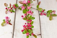 Κλαδίσκος δέντρων της Apple με τα άνθη Στοκ φωτογραφία με δικαίωμα ελεύθερης χρήσης