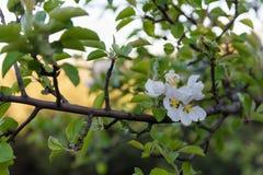 Κλαδίσκος δέντρων της Apple με τα λουλούδια και τα φύλλα στον κήπο bokeh Στοκ φωτογραφία με δικαίωμα ελεύθερης χρήσης