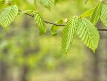 Κλαδίσκος δέντρων της Hazel Στοκ Φωτογραφίες