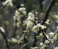 Κλαδίσκος δαμάσκηνων με τα άσπρα άνθη την άνοιξη Στοκ Εικόνες