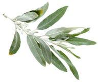 Κλαδίσκος με τα ασημένια φύλλα του angustifolia Elaeagnus Στοκ Φωτογραφίες
