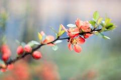 Κλαδίσκος με τα μικρά πορτοκαλιά λουλούδια Στοκ Εικόνα