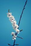 Κλαδίσκος με τα πρώτα λουλούδια Apple-δέντρων Στοκ φωτογραφία με δικαίωμα ελεύθερης χρήσης