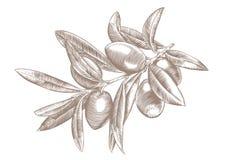 Κλαδί ελιάς με τα μούρα και τα φύλλα Στοκ εικόνα με δικαίωμα ελεύθερης χρήσης