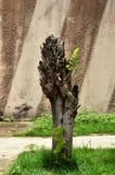 κλαδευμένο δέντρο Στοκ εικόνα με δικαίωμα ελεύθερης χρήσης