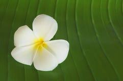 Κλείνω-επάνω στο άσπρο κίτρινο λουλούδι Plumeria Στοκ Εικόνες