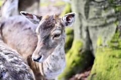 Κλείστε αυξημένος ενός άγριου ελαφιού, θηλυκά ελάφια whitetail Στοκ Φωτογραφία
