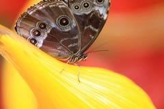 Κλείστε αυξημένος της πεταλούδας Στοκ εικόνα με δικαίωμα ελεύθερης χρήσης