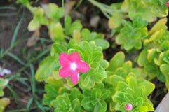 Κλείστε αυξημένος του αρκετά ρόδινου λουλουδιού στον κήπο, το Ντουμπάι 28ο μπορεί το 2017 Στοκ Εικόνες