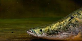 κλείστε αυξημένος του κεφαλιού ψαριών Arapaima Στοκ Εικόνα