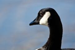 Κλείστε εξετάζει την καναδόχηνα κοιτάζοντας έξω πέρα από τη λίμνη Στοκ φωτογραφία με δικαίωμα ελεύθερης χρήσης