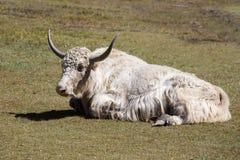 Κλείστε επάνω άγρια yak στα βουνά του Ιμαλαίαυ, Νεπάλ Στοκ Εικόνα