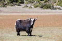 Κλείστε επάνω άγρια yak στα βουνά του Ιμαλαίαυ, Νεπάλ Στοκ φωτογραφία με δικαίωμα ελεύθερης χρήσης
