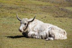 Κλείστε επάνω άγρια yak στα βουνά του Ιμαλαίαυ, Νεπάλ Στοκ Εικόνες