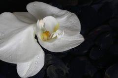 Κλείστε επάνω άσπρο orchid Στοκ εικόνες με δικαίωμα ελεύθερης χρήσης