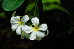 Κλείστε επάνω, άσπρο plumeria στο δέντρο plumeria, τροπικά λουλούδια frangipani Στοκ Εικόνα