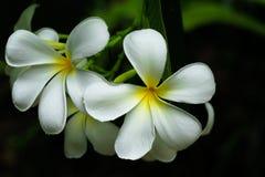 Κλείστε επάνω, άσπρο plumeria στο δέντρο plumeria, τροπικά λουλούδια frangipani Στοκ εικόνες με δικαίωμα ελεύθερης χρήσης