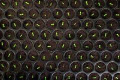 Κλείστε επάνω λίγης σποράς νεαρών βλαστών στον κήπο, Στοκ Φωτογραφία