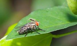 Κλείστε επάνω λίγη ενιαία μύγα Στοκ Φωτογραφίες