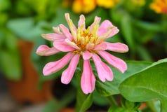 Κλείστε επάνω λίγο ρόδινο λουλούδι Στοκ φωτογραφία με δικαίωμα ελεύθερης χρήσης