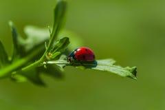 Κλείστε επάνω λαμπρίτσα-Ladybug strolling σε ένα φύλλο φυτών ` s κατά τη διάρκεια της άνοιξης στοκ εικόνα