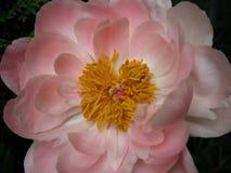 Κλείστε επάνω ανοικτό ροζ peony Στοκ φωτογραφία με δικαίωμα ελεύθερης χρήσης