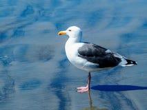 Κλείστε επάνω απομονωμένο seagull στην παραλία Στοκ εικόνες με δικαίωμα ελεύθερης χρήσης