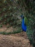 Κλείστε επάνω αρσενικού Peacock στο σχεδιάγραμμα Στοκ φωτογραφία με δικαίωμα ελεύθερης χρήσης