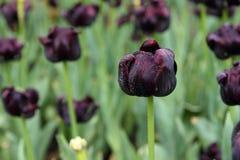 Κλείστε επάνω βαθιά - πορφυρά λουλούδια τουλιπών στον κήπο Στοκ Φωτογραφίες