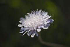 Κλείστε επάνω ενός άσπρου λουλουδιού πικραλίδων αστέρων κατά τη διάρκεια της άνοιξης στοκ εικόνα