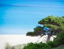 Κλείστε επάνω ενός δέντρου πεύκων θαλασσίως σε Stintino Στοκ εικόνα με δικαίωμα ελεύθερης χρήσης