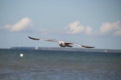 Κλείστε επάνω ενός γλάρου κατά την πτήση στην παραλία της θάλασσας της Βαλτικής με το μπλε ουρανό Στοκ εικόνες με δικαίωμα ελεύθερης χρήσης