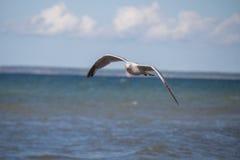 Κλείστε επάνω ενός γλάρου κατά την πτήση στην παραλία της θάλασσας της Βαλτικής με το μπλε ουρανό Στοκ Εικόνα