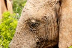 Κλείστε επάνω ενός ελέφαντα με τα τριχωτά αυτιά Στοκ Εικόνες