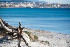 Κλείστε επάνω ενός κορμού πεύκων από την ακτή στην παραλία της Μαρίας Pia Στοκ εικόνα με δικαίωμα ελεύθερης χρήσης