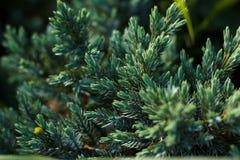 Κλείστε επάνω ενός κλάδου έλατου σε ένα πράσινο υπόβαθρο Στοκ φωτογραφία με δικαίωμα ελεύθερης χρήσης
