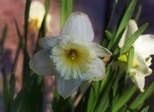 Κλείστε επάνω ενός μεγάλου daffodil που αυξάνεται στις άγρια περιοχές Στοκ εικόνες με δικαίωμα ελεύθερης χρήσης