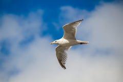 Κλείστε επάνω ενός μπλε ουρανού bevor γλάρων κατά την πτήση Στοκ Εικόνες