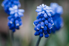 Κλείστε επάνω ενός μπλε υάκινθου σταφυλιών, armeniacum Muscari Στοκ Εικόνες