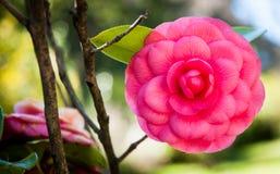 Κλείστε επάνω ενός ροδαλού λουλουδιού στο πάρκο του arenzano Γένοβα Στοκ φωτογραφία με δικαίωμα ελεύθερης χρήσης