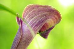 Κλείστε επάνω ενός ρόδινου λουλουδιού της Calla Lilly Στοκ Φωτογραφία