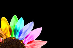 Κλείστε επάνω ενός χρωματισμένου ουράνιο τόξο ηλίανθου Στοκ εικόνα με δικαίωμα ελεύθερης χρήσης