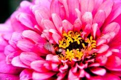 Κλείστε επάνω ενός όμορφου ρόδινου λουλουδιού της Zinnia Στοκ φωτογραφία με δικαίωμα ελεύθερης χρήσης