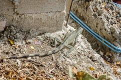 Κλείστε επάνω ενός iguana iguana 0Iguana στοκ εικόνα με δικαίωμα ελεύθερης χρήσης