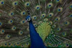 Κλείστε επάνω ενός Peacock ενάντια στα ζωηρόχρωμα φτερά ουρών Στοκ Φωτογραφία