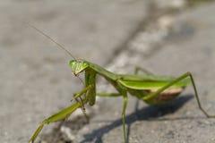 Κλείστε επάνω ενός Preying Mantis το ίδιο Preening Στοκ φωτογραφία με δικαίωμα ελεύθερης χρήσης