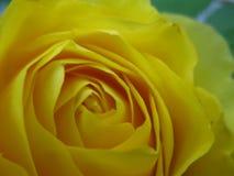 Κλείστε επάνω κίτρινου αυξήθηκε ανθίζοντας Στοκ εικόνα με δικαίωμα ελεύθερης χρήσης